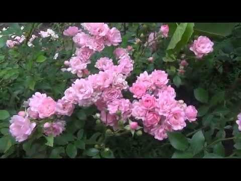 Почвопокровные розы. Ground cover roses.