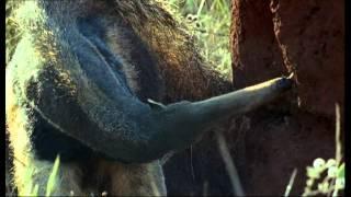 El Oso Hormiguero gigante o Yurumi