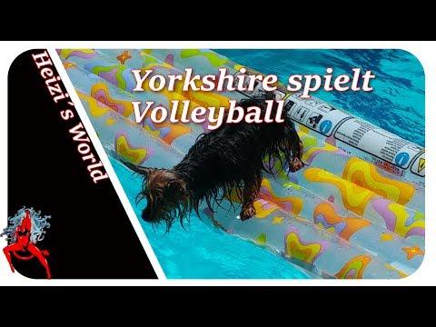 Yorkshire spielt Volleyball, das müsst ihr sehen - Tiere | Die Heizerbraut