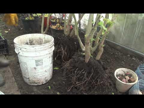Подготавливаем теплолюбивые растения к хранению.