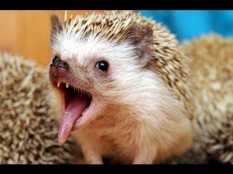 Как Размножаются Ежики - How Do Hedgehogs Breed / Юмор - Humor