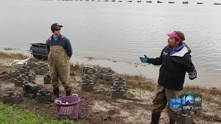 Volunteers take part in oyster reef project at Chincoteague