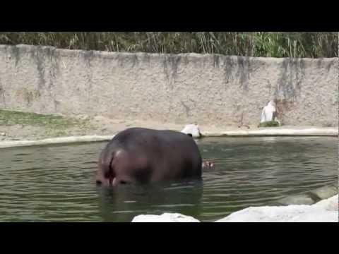 Nacimiento hipopótamo en Safari Masai-Mara Zooguadalajara