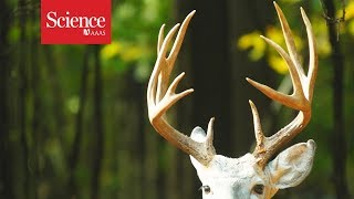 What antlers can teach us about cancer and regrowing limbs