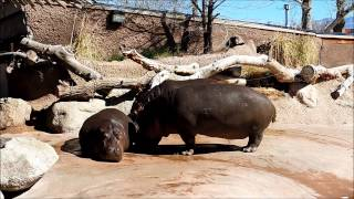 Three Minutes of Hippo Poopin