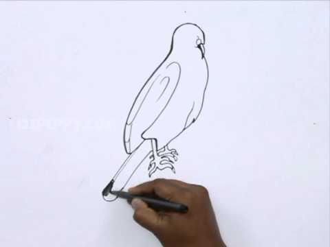 How to Draw a Hawk Easy How to Draw Gray Hawk