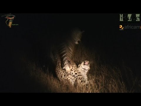 Sex In The Wild: Leopard Virgin video