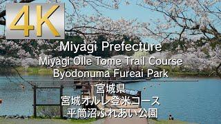 4K 宮城県登米市 平筒沼ふれあい公園の桜