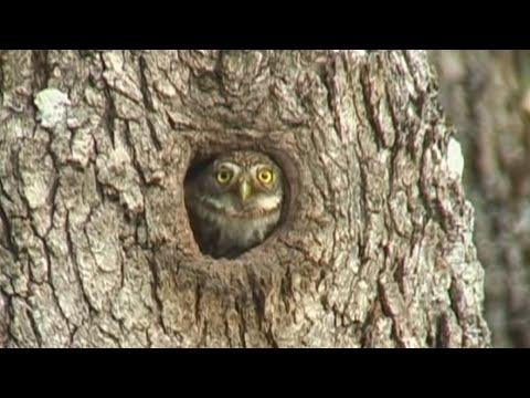 Owl Nest Nesting Pygmy Owls