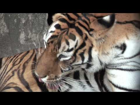 Save Tigers & Bobcats! Video