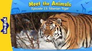 Meet the Animals 13 | Siberian Tiger | Wild Animals | Little Fox | Animated Stories for Kids