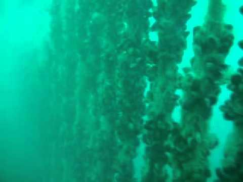 Cultivo mejillón offshore