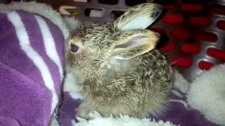 Baby jackrabbit cleaning her face