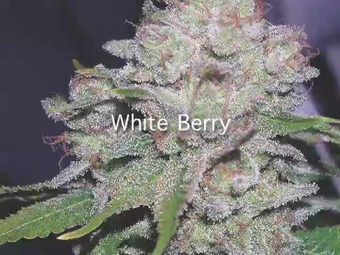 HIGH TIMES Presents: Top 10 Strains of the Year Video