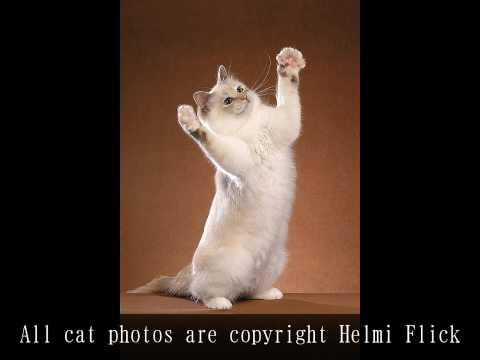 Birman Cat Video