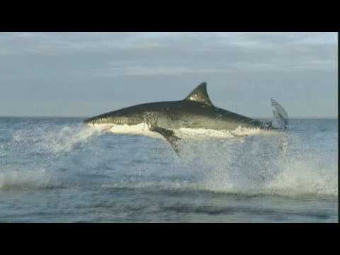 Nature's Perfect Predator - Great White Shark