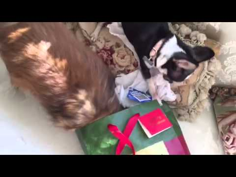 Christmas present mayhem with Rosebud