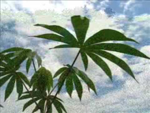 Cassava  Fuel Of The Future?