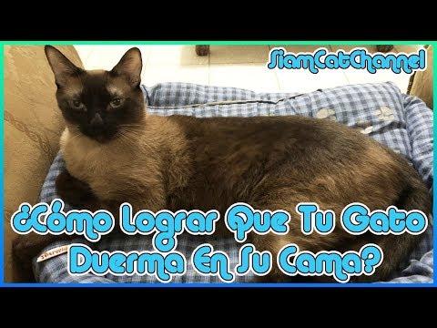 Cómo Lograr Que Tu Gato Duerma En Su Cama (10 Consejos) - SiamCatChannel