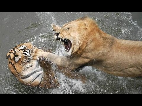 вяжутся драка лев и тигр как нарисовать лицо
