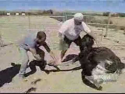 Dirty Jobs-Ostrich Farm