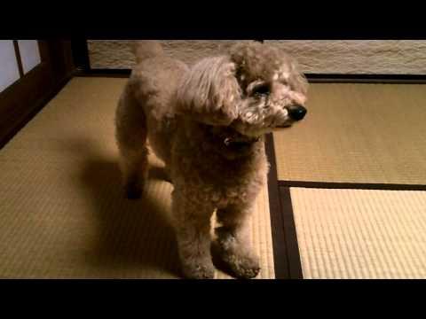 トイプードル犬ハッピー「お散歩に行けそうだ」
