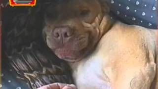 Cachorro ri quando puxam a língua dele