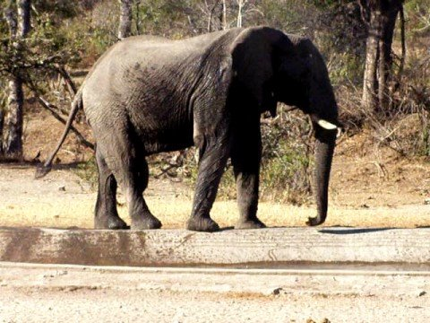drinkende en wassende olifant
