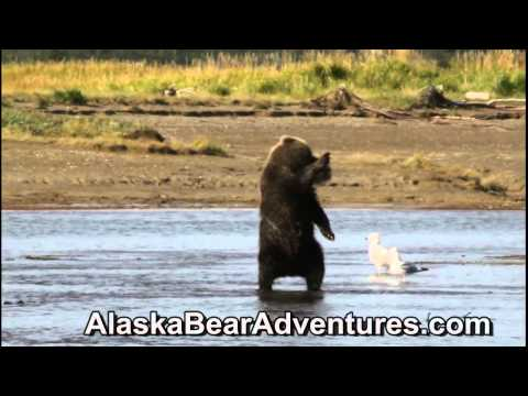 Bear Viewing Adventures with Alaska Bear Adventures in Homer Alaska. Daily trips to Katmai Park