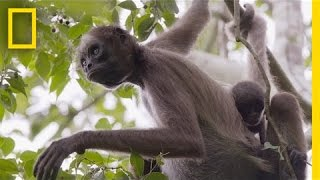 Swing Through the Trees With Amazing Spider Monkeys | National Geographic