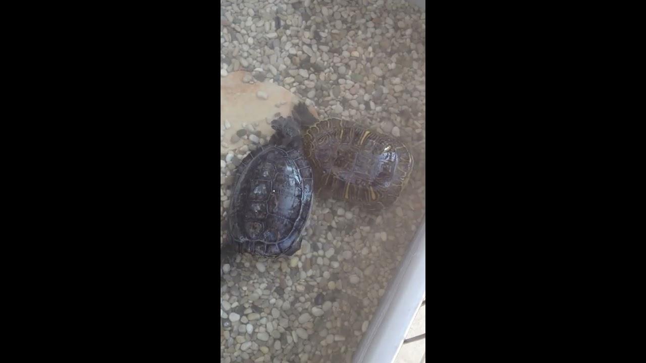 Accoppiamento tra due tartarughe d 39 acqua youtube for Accoppiamento tartarughe