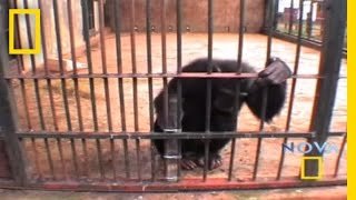 Thumb Chimpancé usa su ingenio para poder comer maní