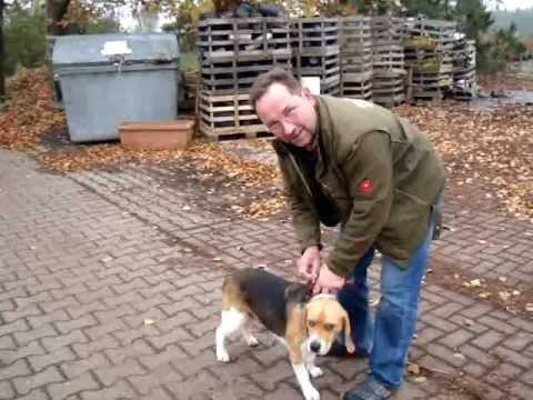 Beagle-Erziehung Per Handy