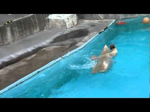 背泳ぎするホッキョクグマのキロル