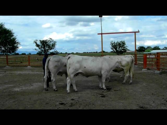 VACAS CHAROLAIS CON TORO BRAHMAN RSJVYT, LOS GANADEROS.COM
