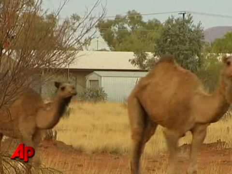 Raw Video: Australia Begins Cull of Camels