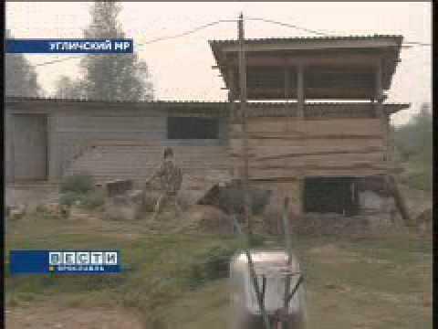 Жительница Угличского района приручила диких кабанов