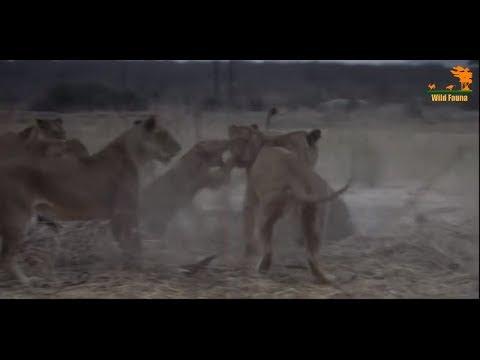 Wild Fauna / Битва прайдов / Lion Kingdom / 2-Охотник на гигантов