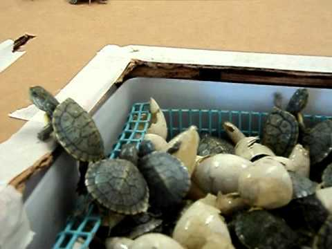 Newly hatched red ear sliders (baby pet turtles)