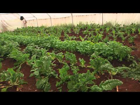 Shamba Shape Up (Swahili) - Tissue Culture Banana, Soil Test, Farmer Groups