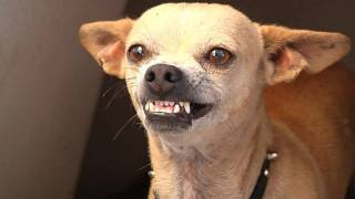 My roommate's chihuahua wants to kill me