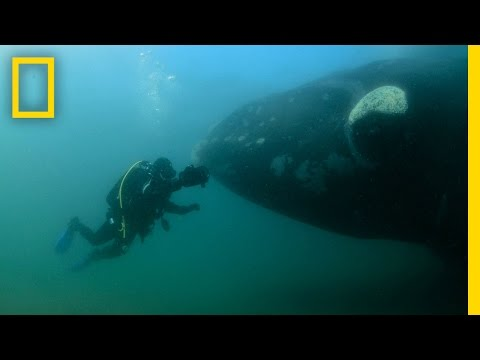 Amazed Diver Swims With Mother Whale and Calf