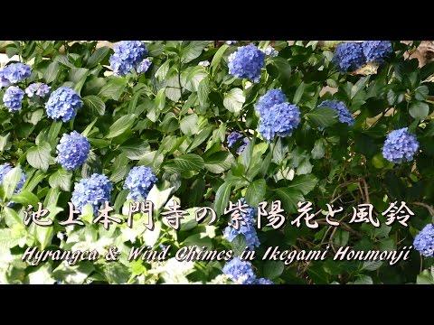 Lumix DMC-FZ1000 Hydrangea & Wind Chimes in Ikegami Honmonji  池上本門寺の 紫陽花と風鈴