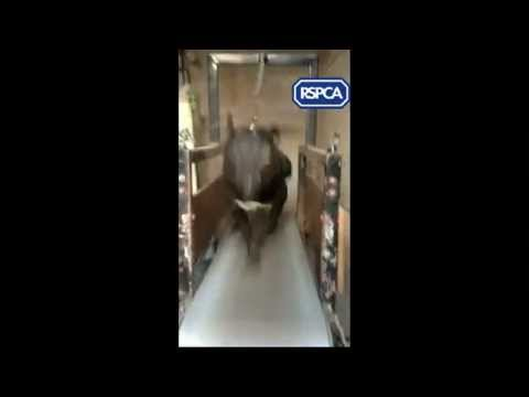 Shocking footage of Pit Bull type dogs being trained for fighting on a treadmill