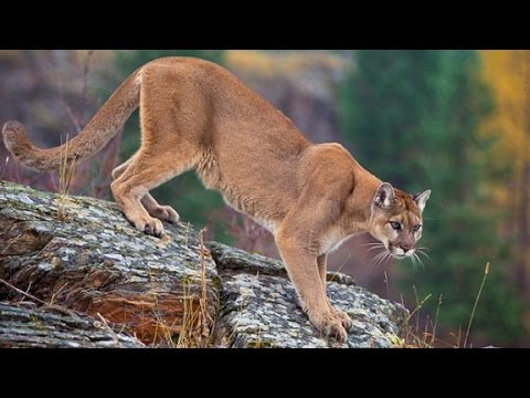 Mom pulls mountain lion off son