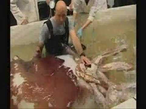 A Colossal Squid caught last year is now being thawed and dissected by New Zealand Scientist. Find out more at figbranch.com Narration of this Video by Jim