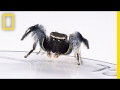 For Jumping Spiders Choosing The Wrong Mate Turns Deadly National Geographic mp3