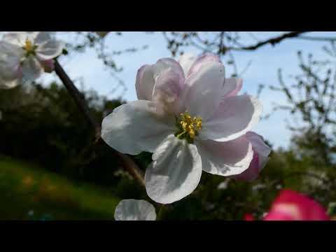 Apfel Blüten (Malus) Virtueller Rundgang durch die schönsten Gärten