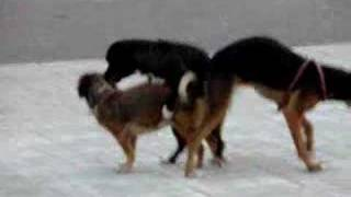 Big Dog Mating With Little Dog And Get Stuck   just b.CAUSE