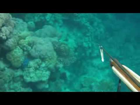 Spear gun fishing, snorkeling, fish hunting, in the red sea